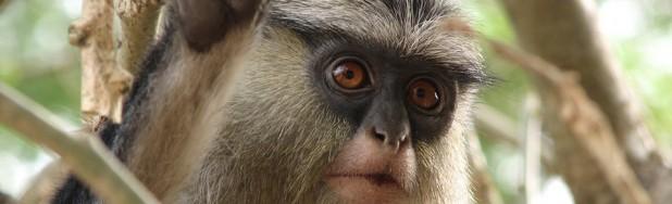 True mona monkey
