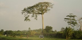 Sacred Ceiba Tree